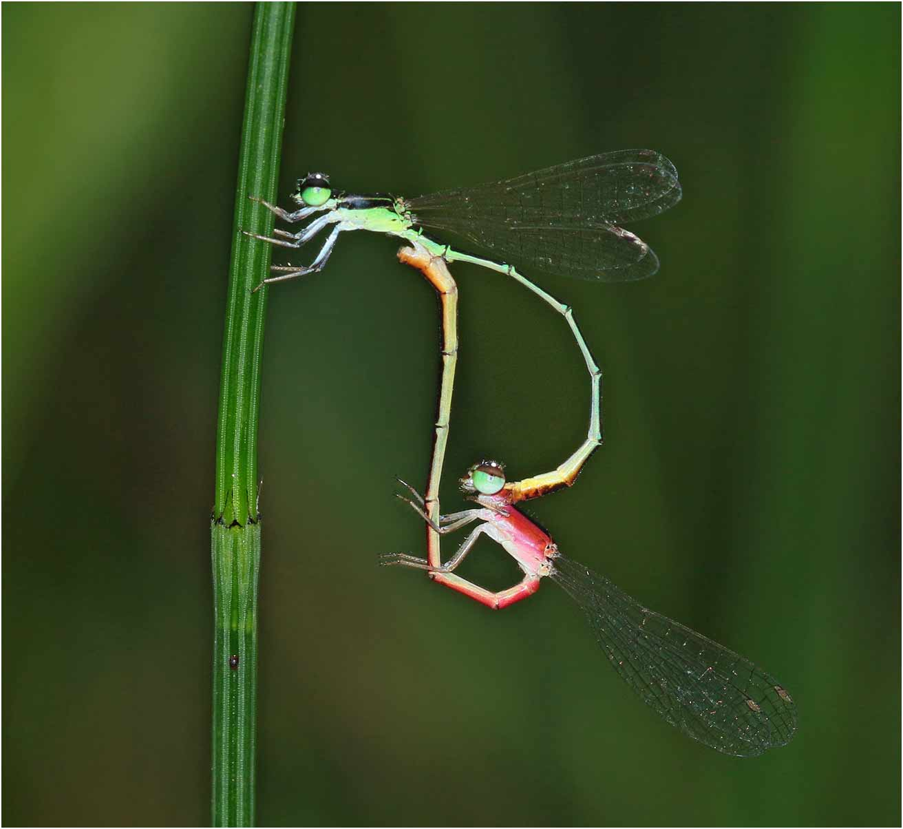 Agriocnemis femina accouplement femelle rouge, Vietnam, Cuc Phong, 13 juin 2018