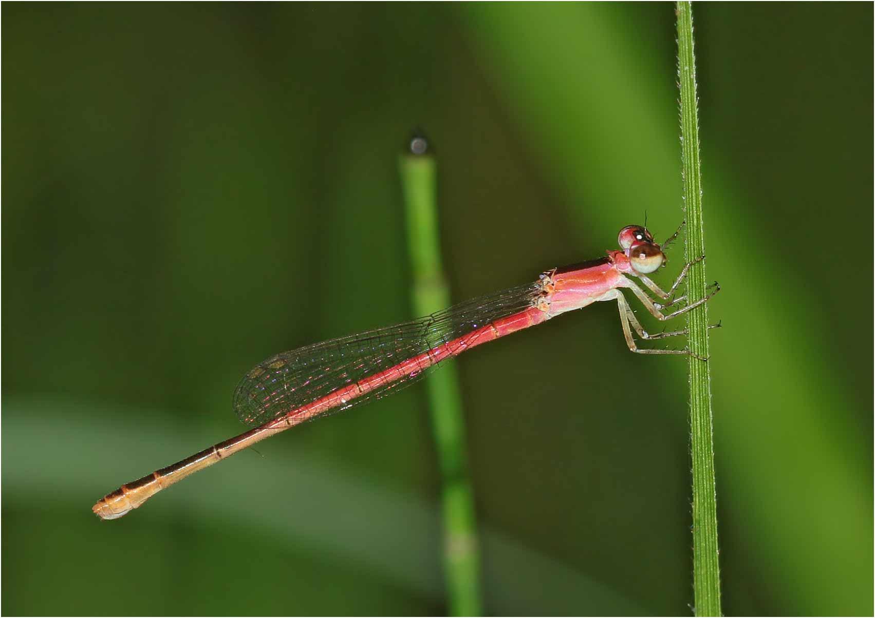 Agriocnemis femina femelle, Vietnam, Cuc Phong, 13 juin 2018