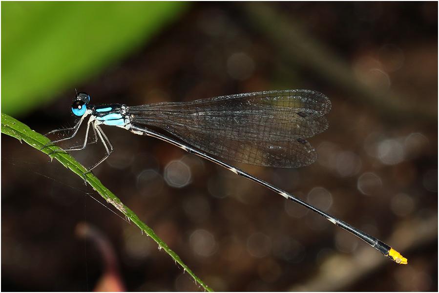 Coeliccia pyriformis mâle.