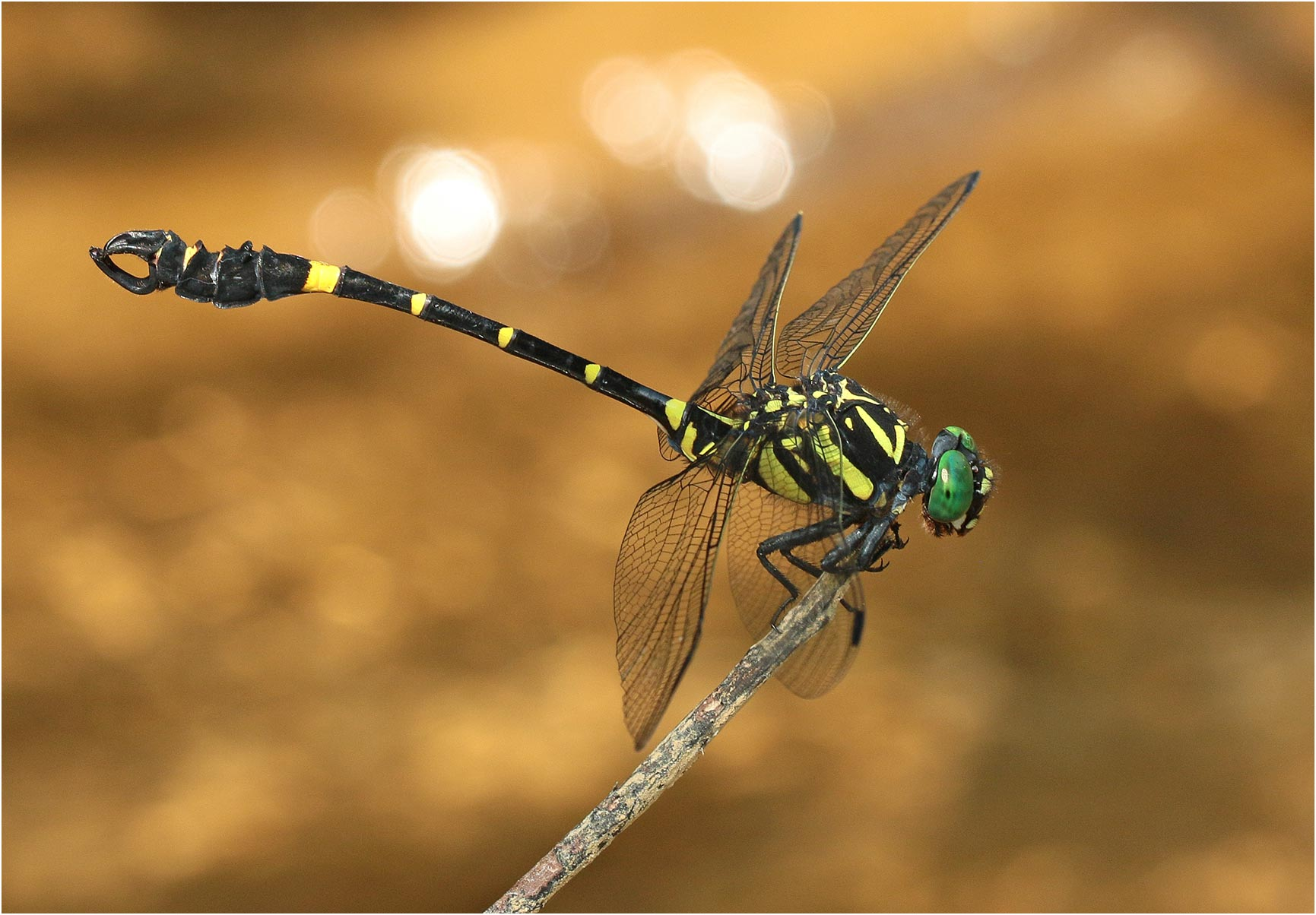Photo de Lammelligomphus camelus en gros plan, au Vietnam. Close up of Lamelligomphus camelus, Vietnam.