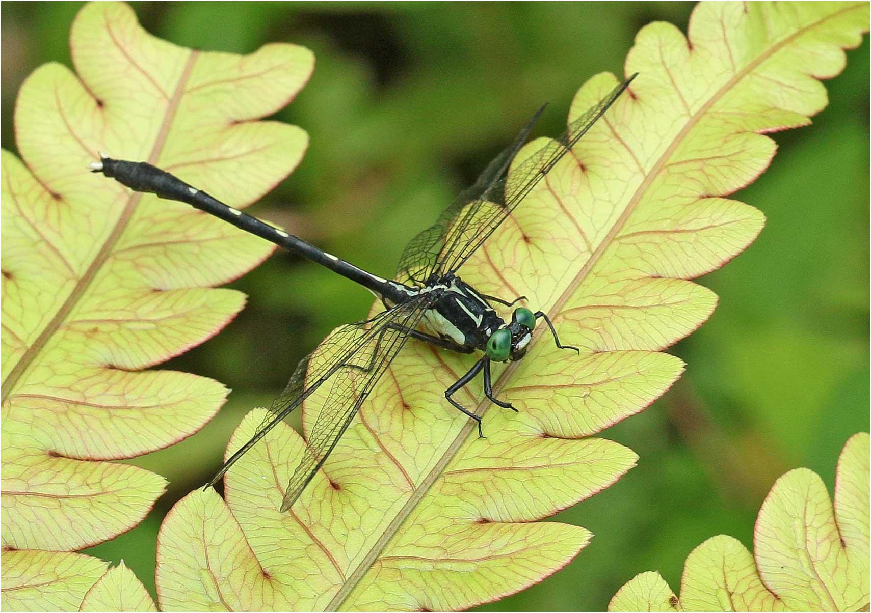 Trigomphus carus, Vietnam, Pia Oac, 5 juin 2018