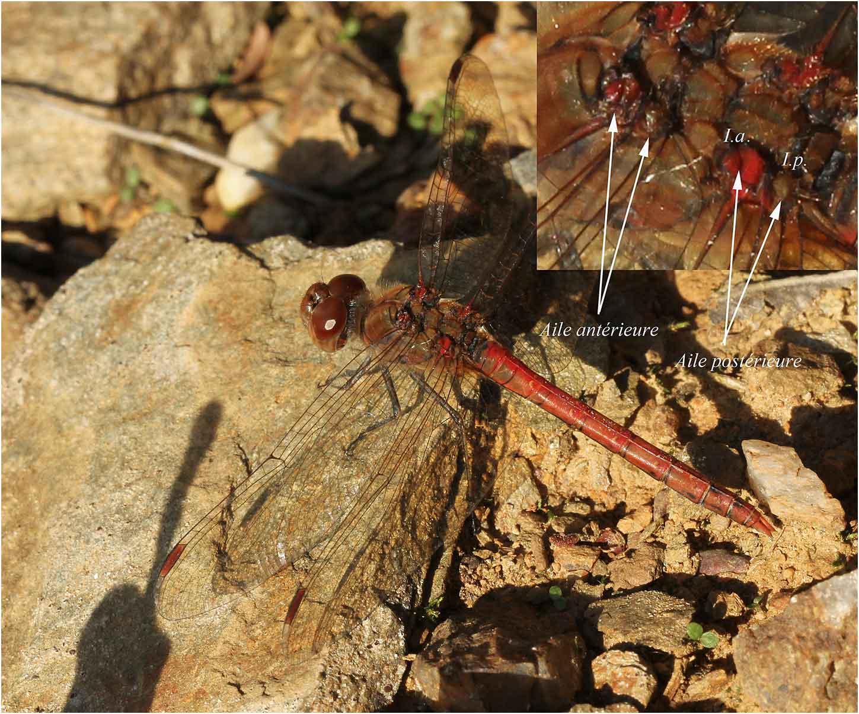 """Sympetrum striolatum mâle montrant l'insertion postérieure des ailes postérieure """"non rouge"""", Saint Rémy en Mauges (France - 49), 13/11/2011"""