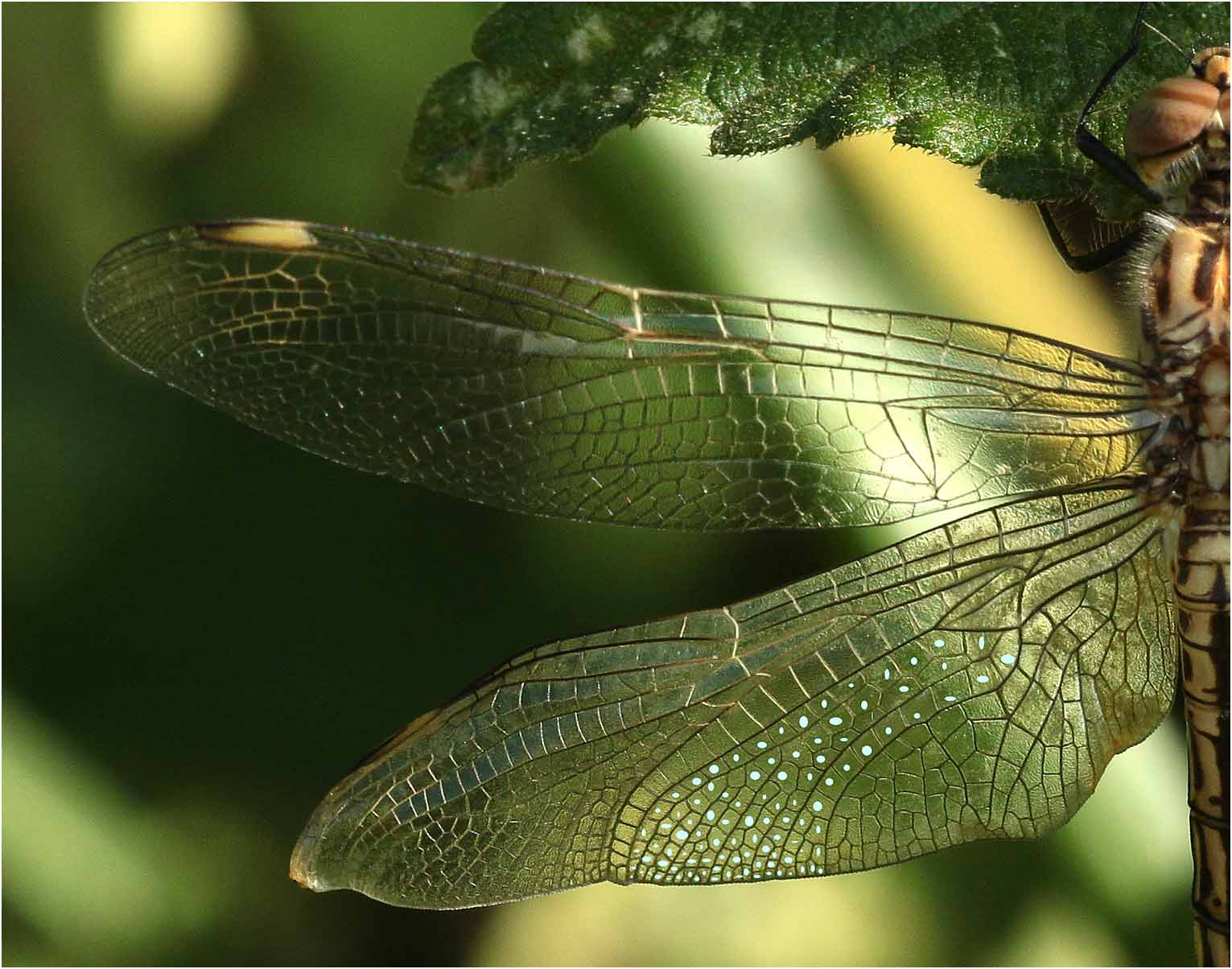 Brachythemis impartita mâle, cellules du champ discoïdal de l'aile postérieure, lac Lagano, 01/11/2018