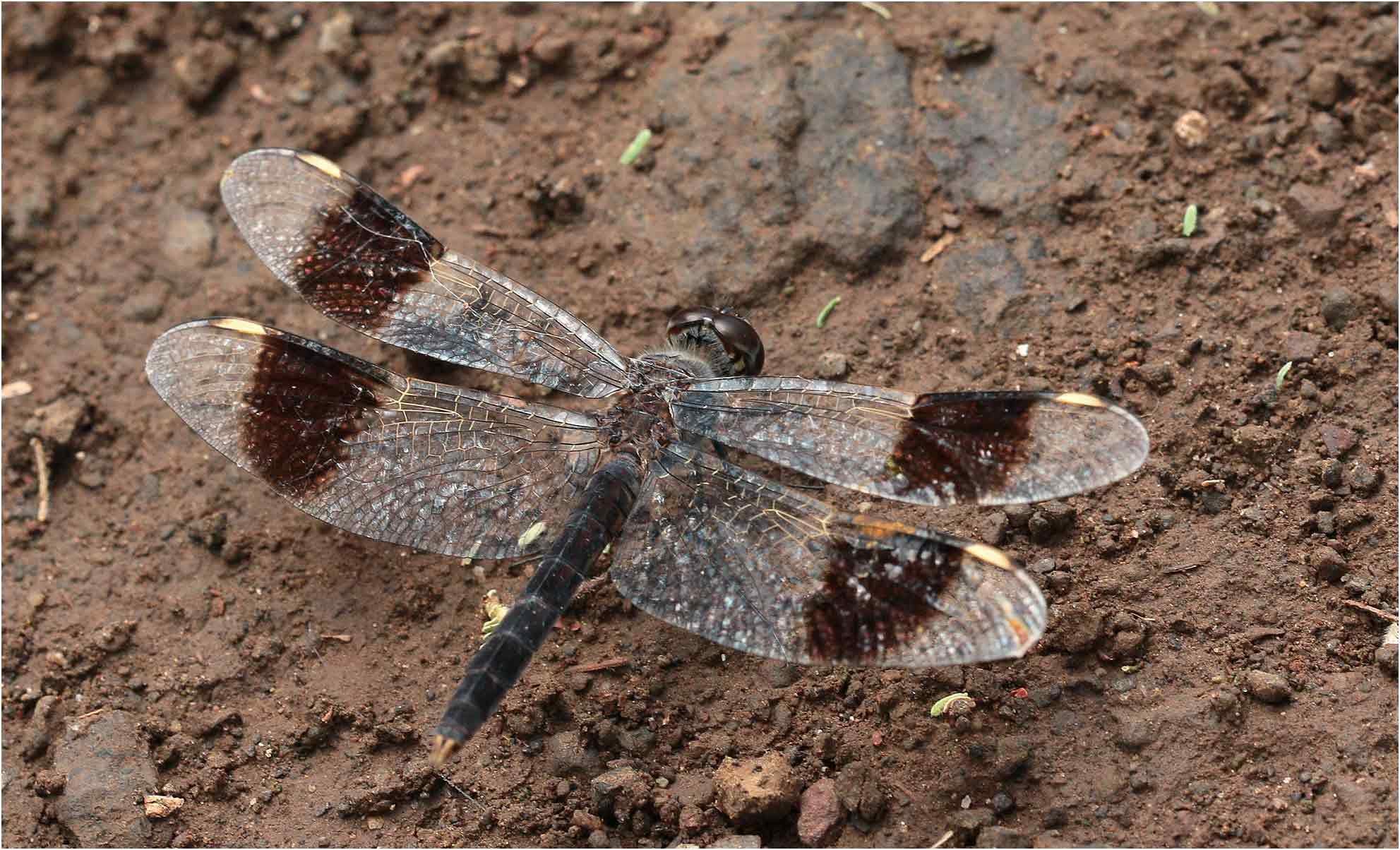 Brachythemis impartita mâle largement mature, lac Chamo, 23/10/2018