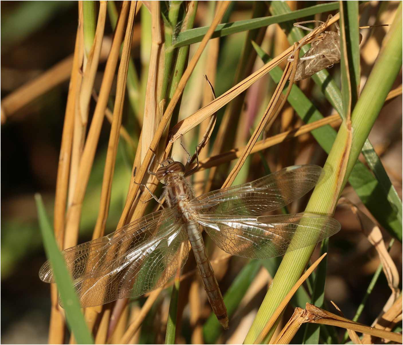 Brachythemis impartita mâle émergent, lac Langano, 01/11/2018
