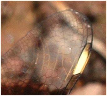 Brachythemis impartita mâle, veination et ptérostigma