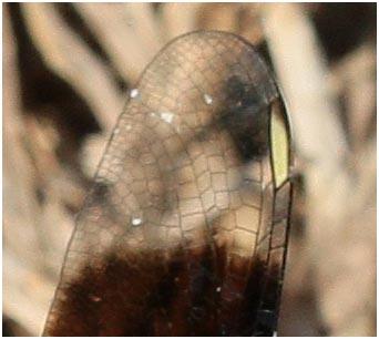 Brachythemis leucosticta veination et ptérostigma