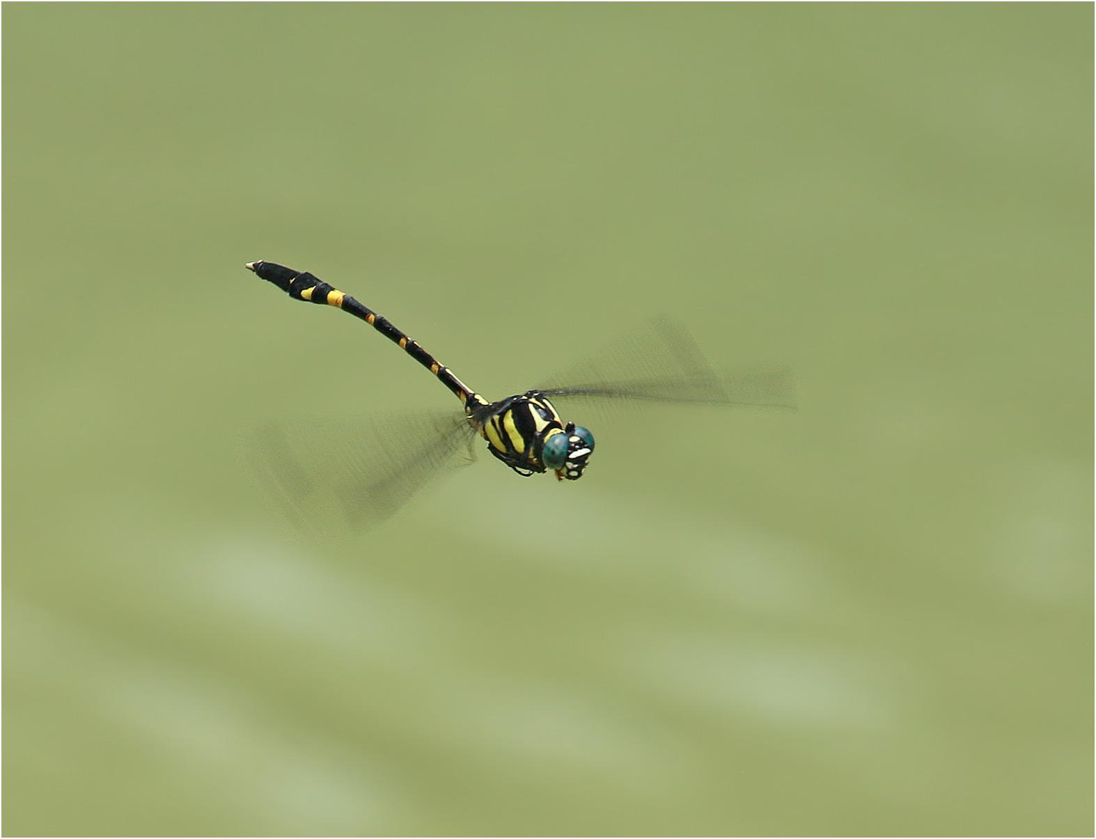 Macrogomphus guilinensis mâle, Vietnam, Huu Lien, 03/06/2018