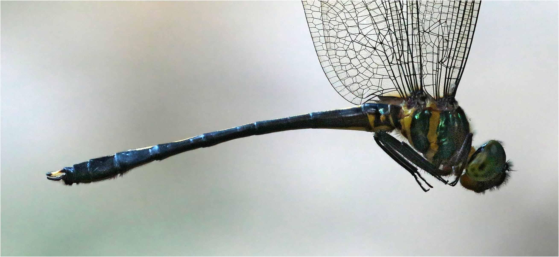 Macromidia rapida mâle, Vietnam, Xuan Son, 08/06/2018