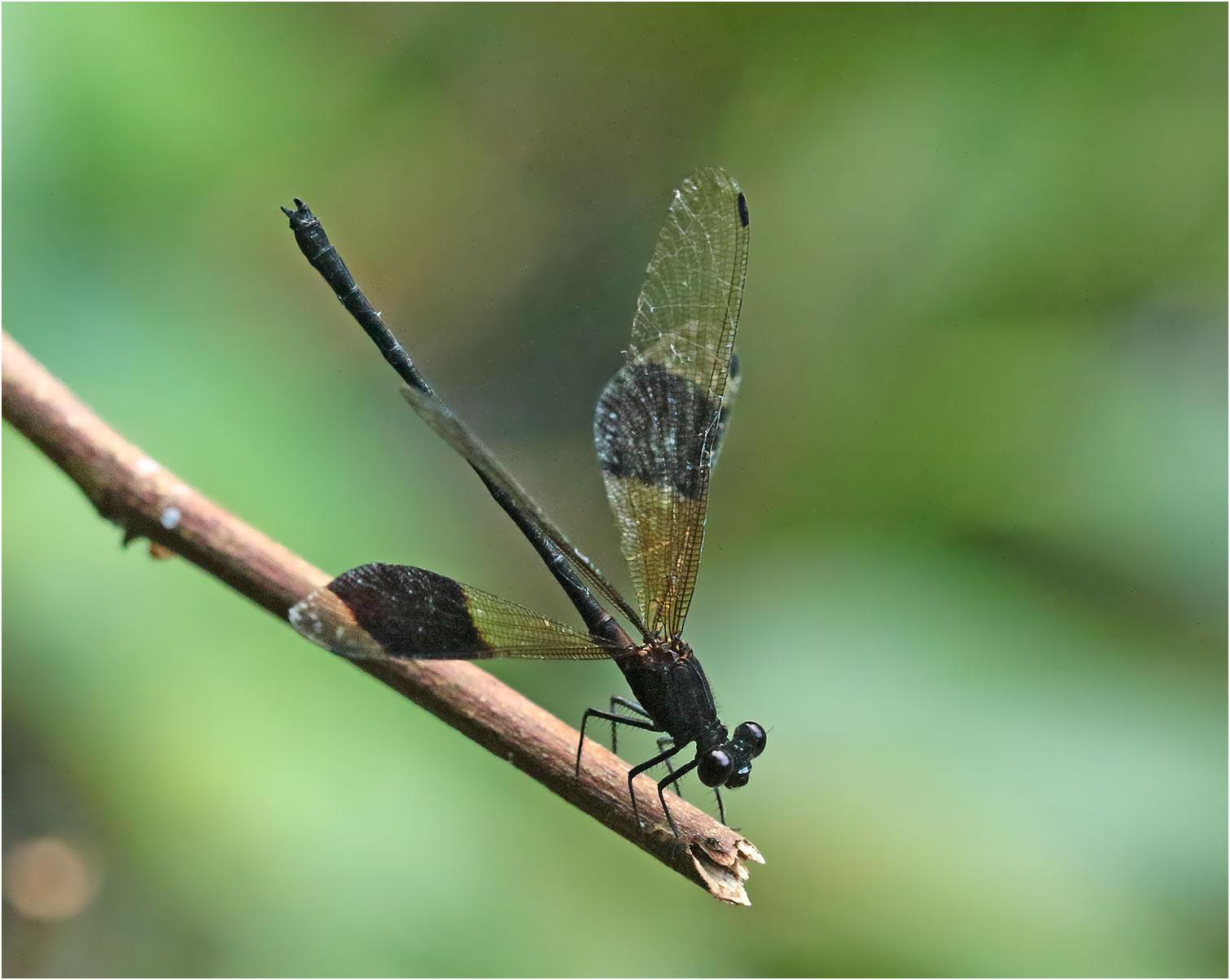 Euphaea decorata mâle, Vietnam, Xuan Son, 08/06/2018