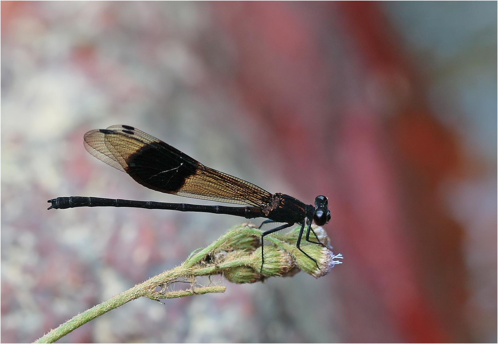 Euphaea decorata mâle, Vietnam, Cao Bang, 06/06/2018