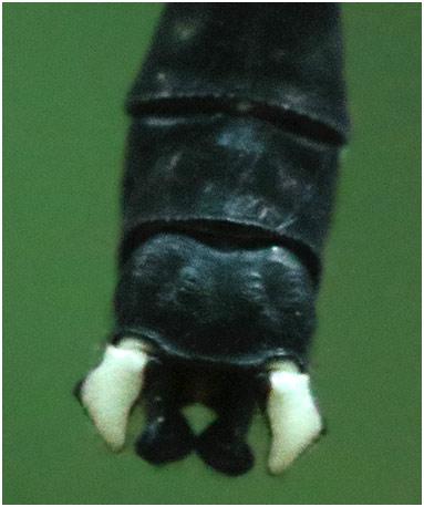 Leptogomphus divaricatus appendices anaux, Vietnam, Ba Vi, 07/06/2018