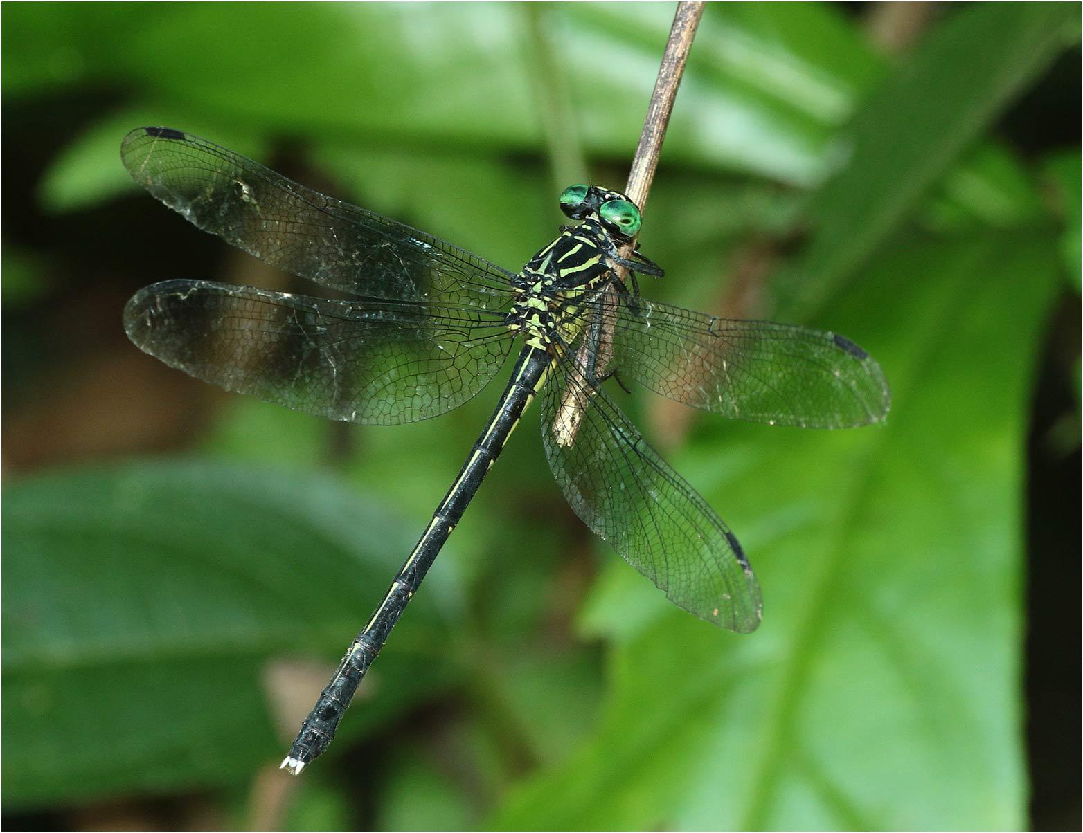 Leptogomphus divaricatus femelle, Vietnam, Xuan Son, 08/06/2018