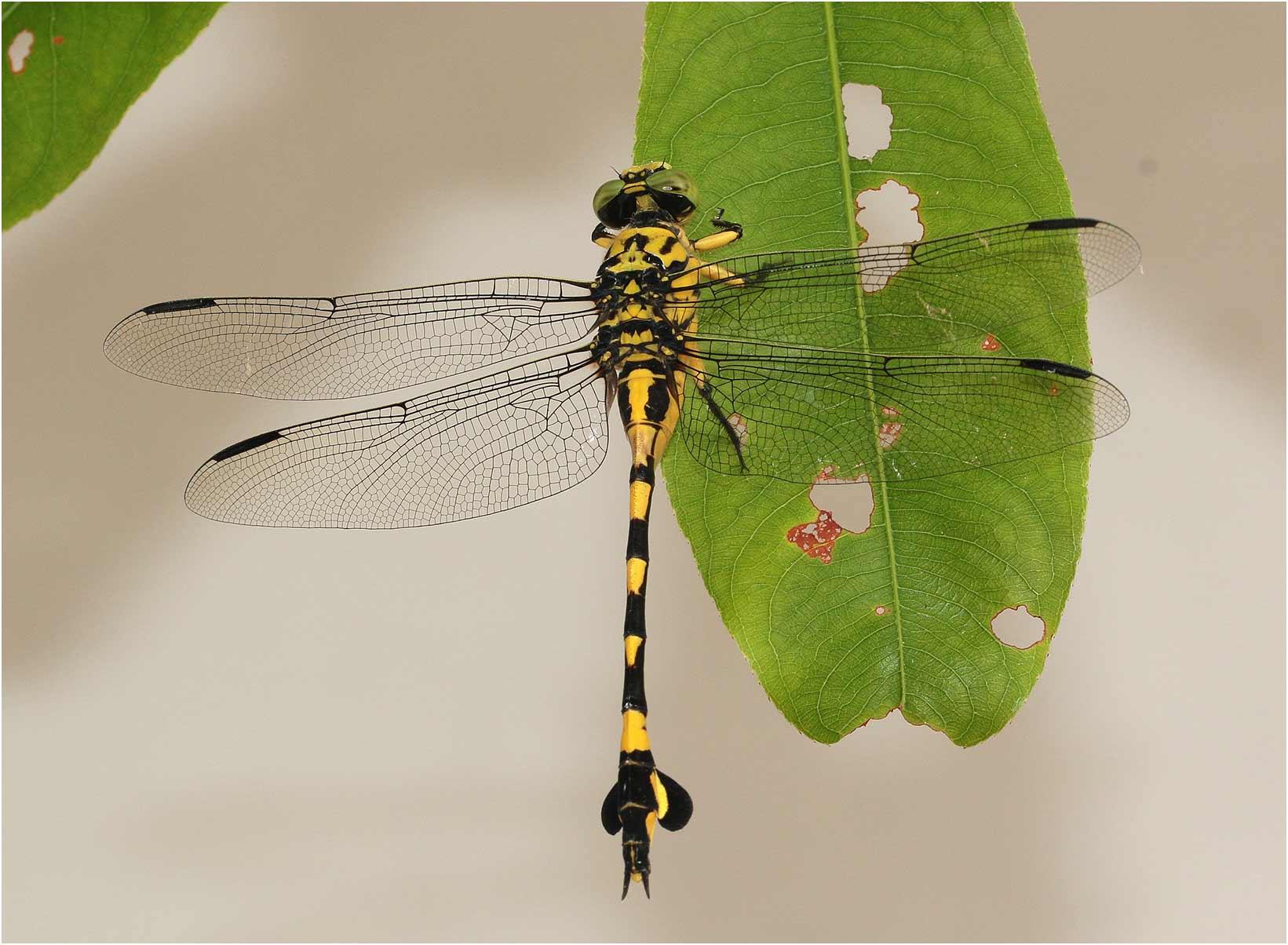 Sinictogomphus clavatus femelle, Vietnam, Cuc Phong, 14/06/18