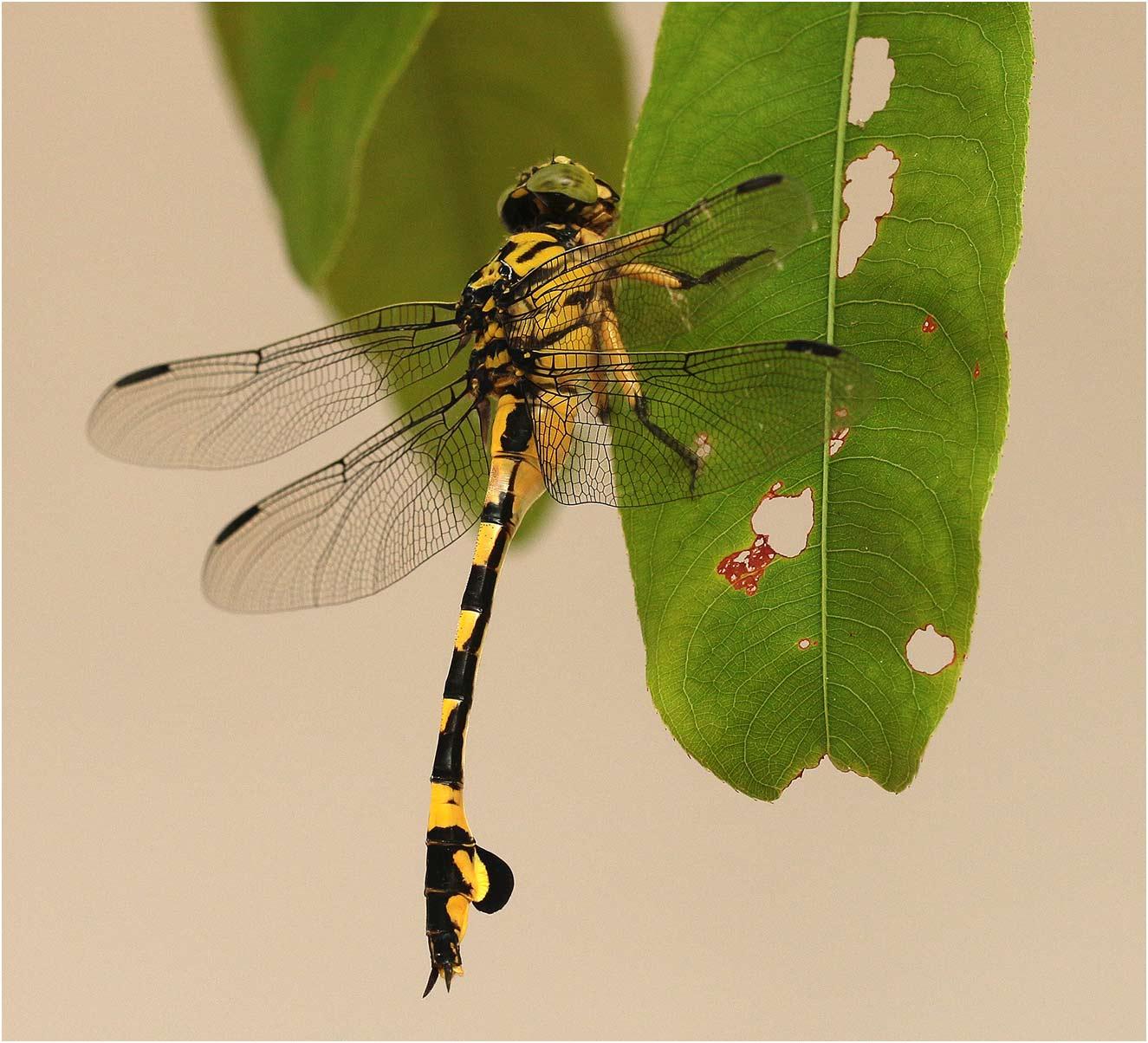 Sinictinogomphus clavatus femelle, Vietnam, Cuc Phong, 14/06/18