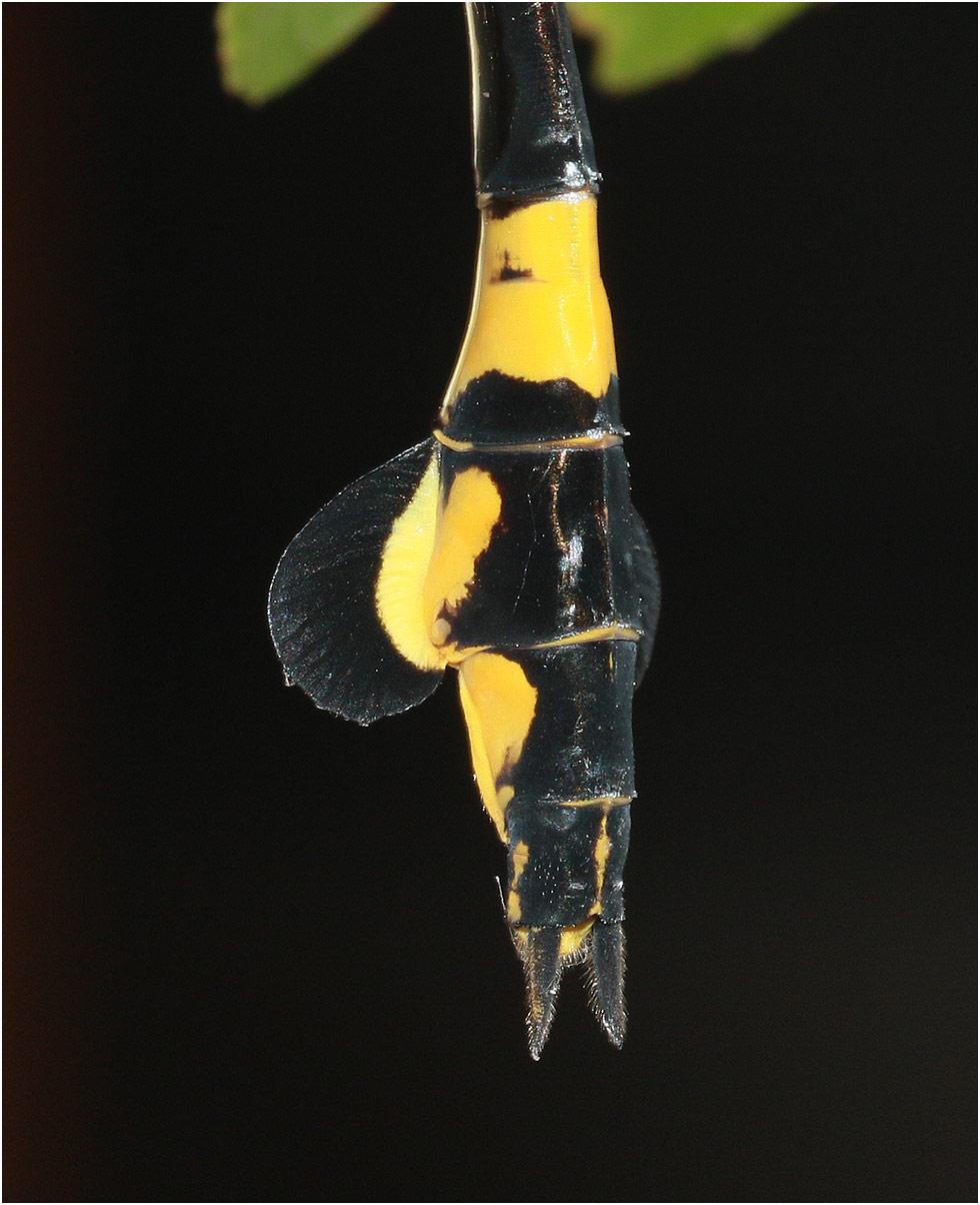 Sinictinogomphus clavatus femelle, appendices anaux, Vietnam, Cuc Phong, 14/06/18