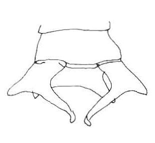 Heliogomphus scorpio, appendices anaux