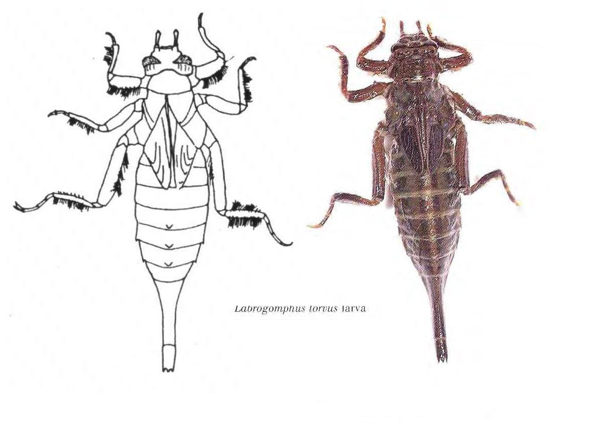 Labrogomphus torvus larve, K.D. Wilson.
