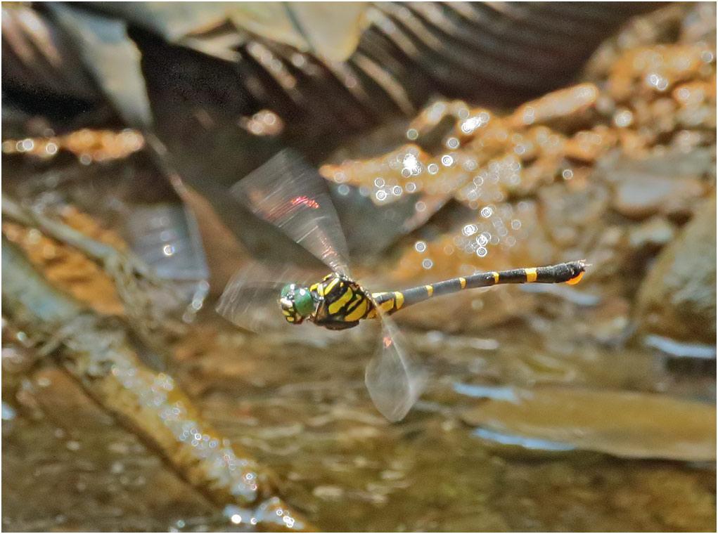 Megalogomphus sommeri femelle, Vietnam, Cao Bang, 06/06/2018Megalogomphus sommeri femelle, Vietnam, Cao Bang, 06/06/2018