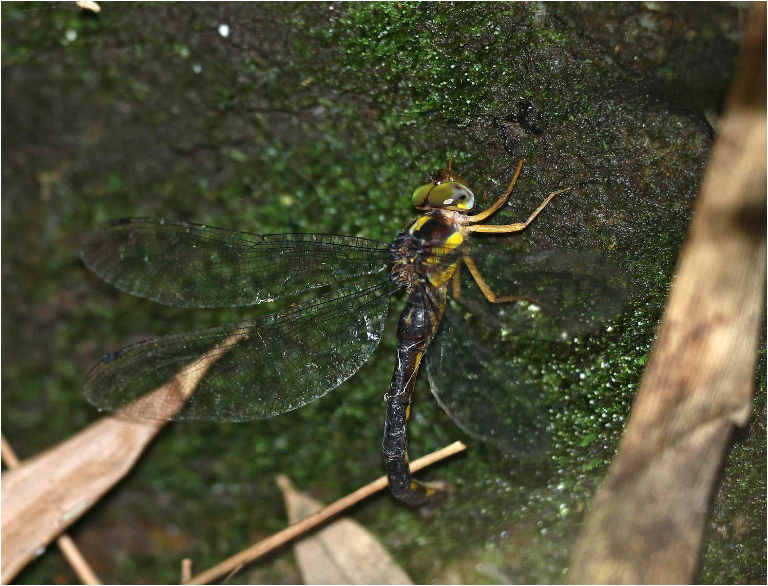 Petaliaeschna tomokunii femelle, Vietnam, Pia Oac, 05/06/2018