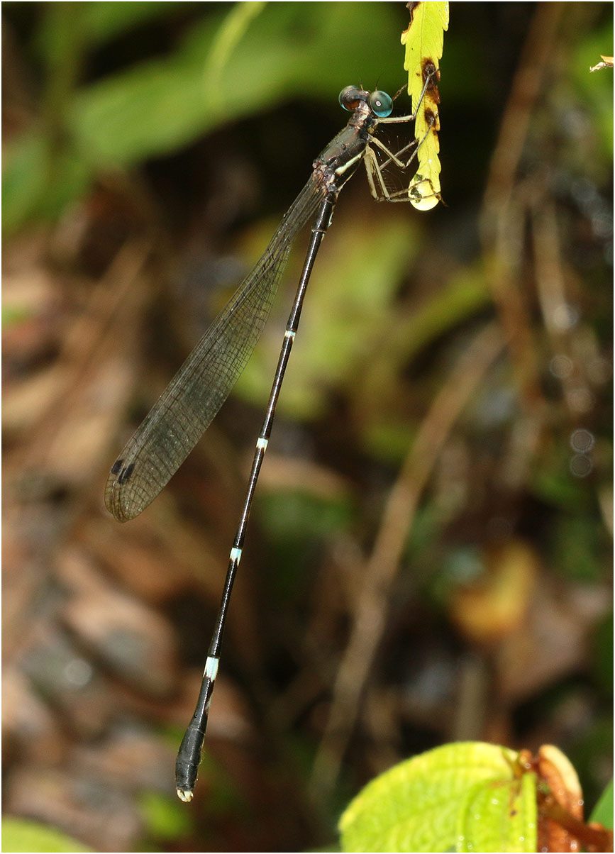 Protosticta grandis mâle, Vietnam, Khau Pha, 11/06/2018