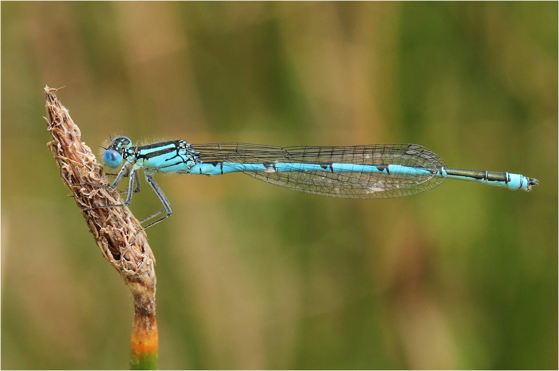 Erythromma lindenii mâle, France, la Chaussaire, 03/07/2011