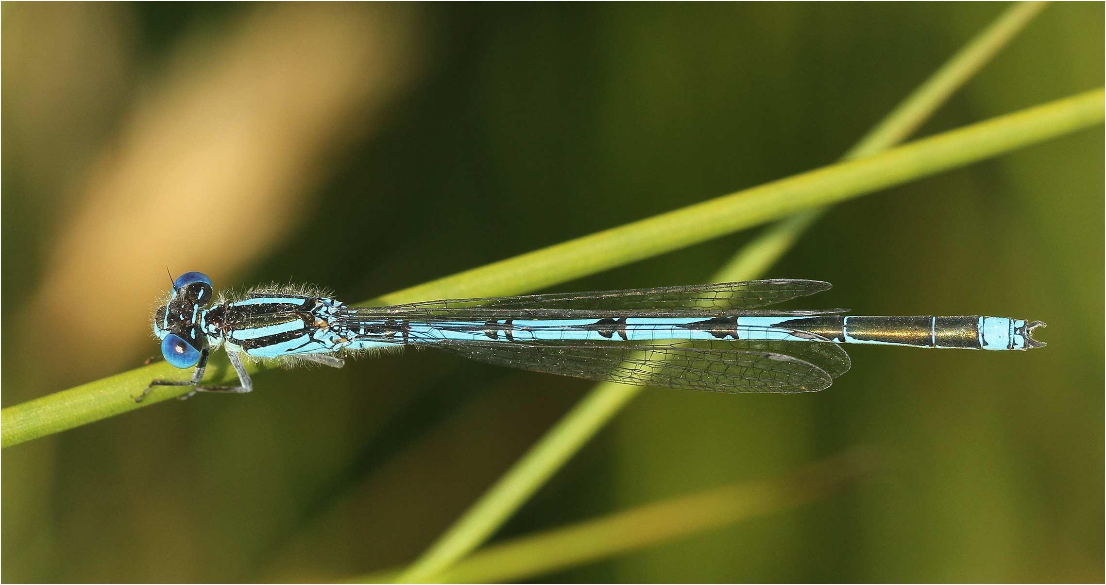 Erythromma lindenii mâle, France, Saint Quentin en Mauges, 27/06/2013