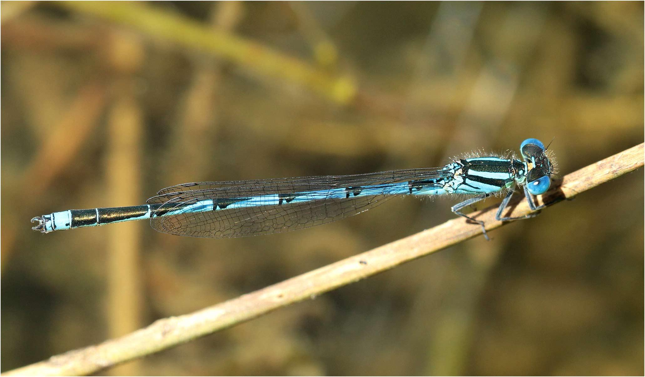 Erythromma lindenii mâle, France, Saint Rémy en Mauges, 12/06/2014