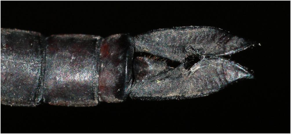 Heliaeschna uninervulata appendices anaux mâle, Vietnam, Cuc Phuong, 13/06/2018