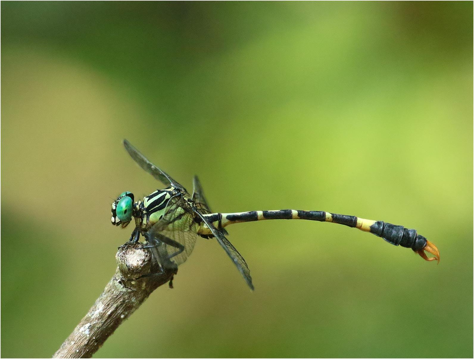 Phaenandrogomphus tonkinicus mâle, Vietnam, Xuan Son, 08/06/2018