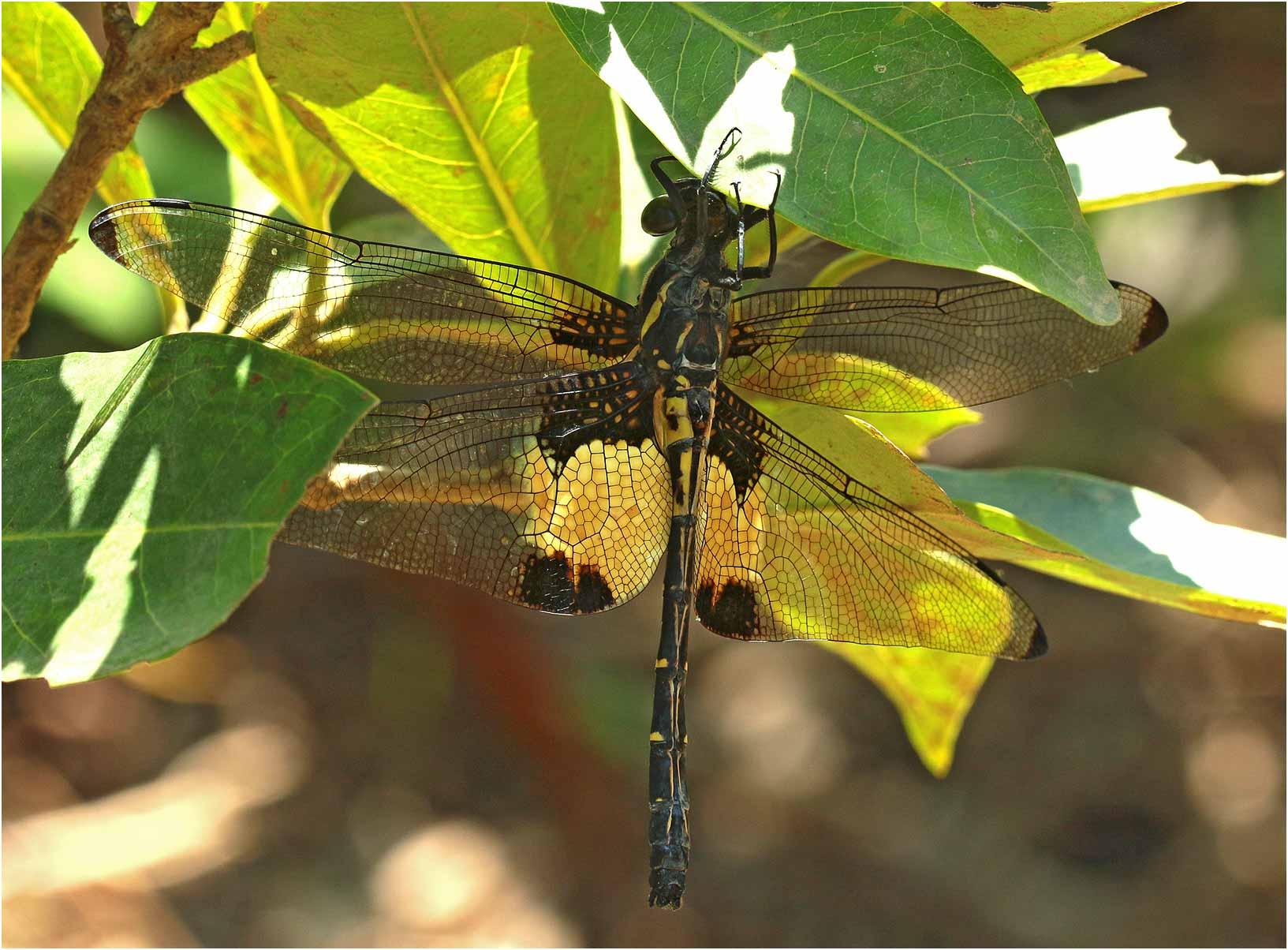 Chlorogomphus papilio mâle, Vietnam, Cao Bang, 06/06/2018