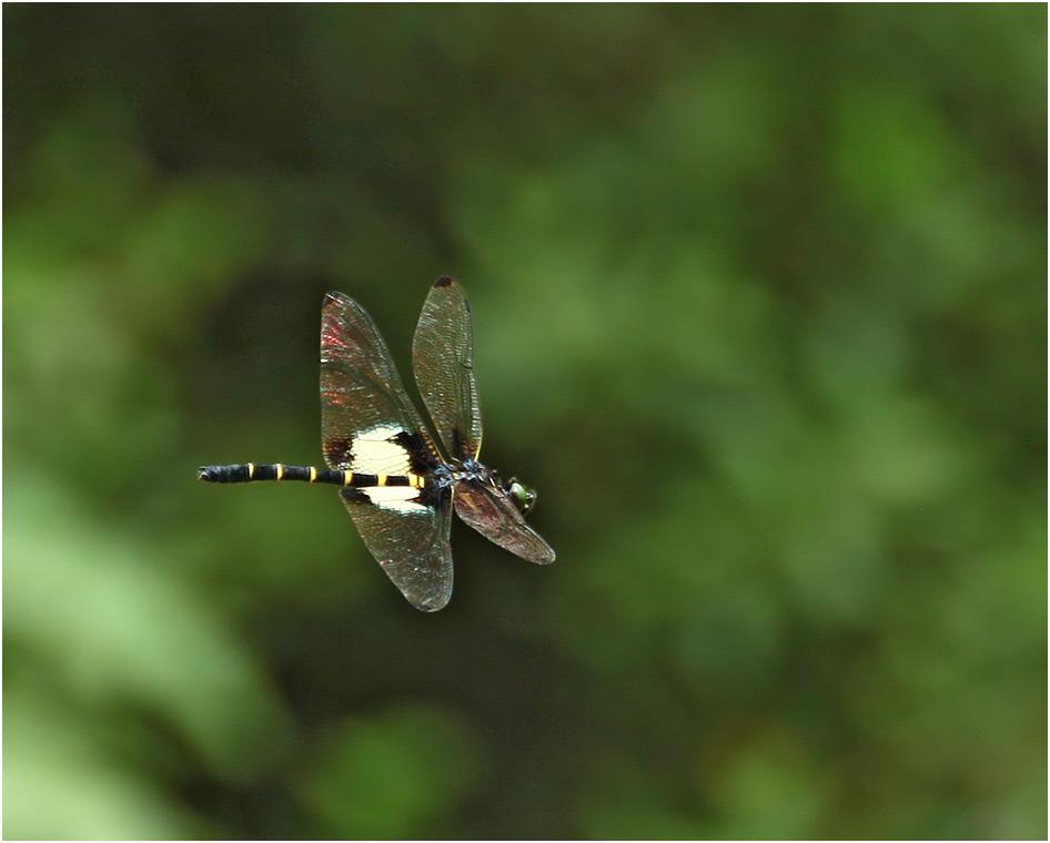Chlorogomphus papilio Vietnam, Cao Bang, 06/06/2018