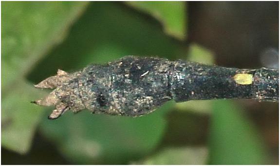 Fukienogomphus prometheus mâle, appendices anaux, Vietnam, Cuc Phuong, 15/06/2018