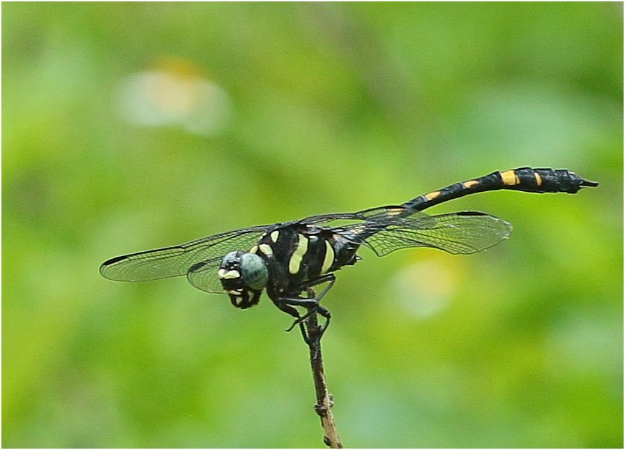 Gomphidia abotti mâle, Vietnam, Huu Lien, 03/06/2018