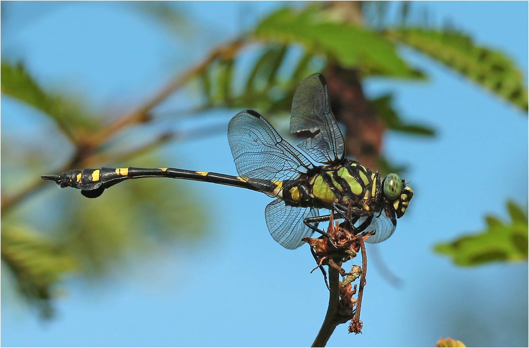 Ictinogomphus pertinax mâle, Vietnam, Cuc Phuong, 14/06/2018