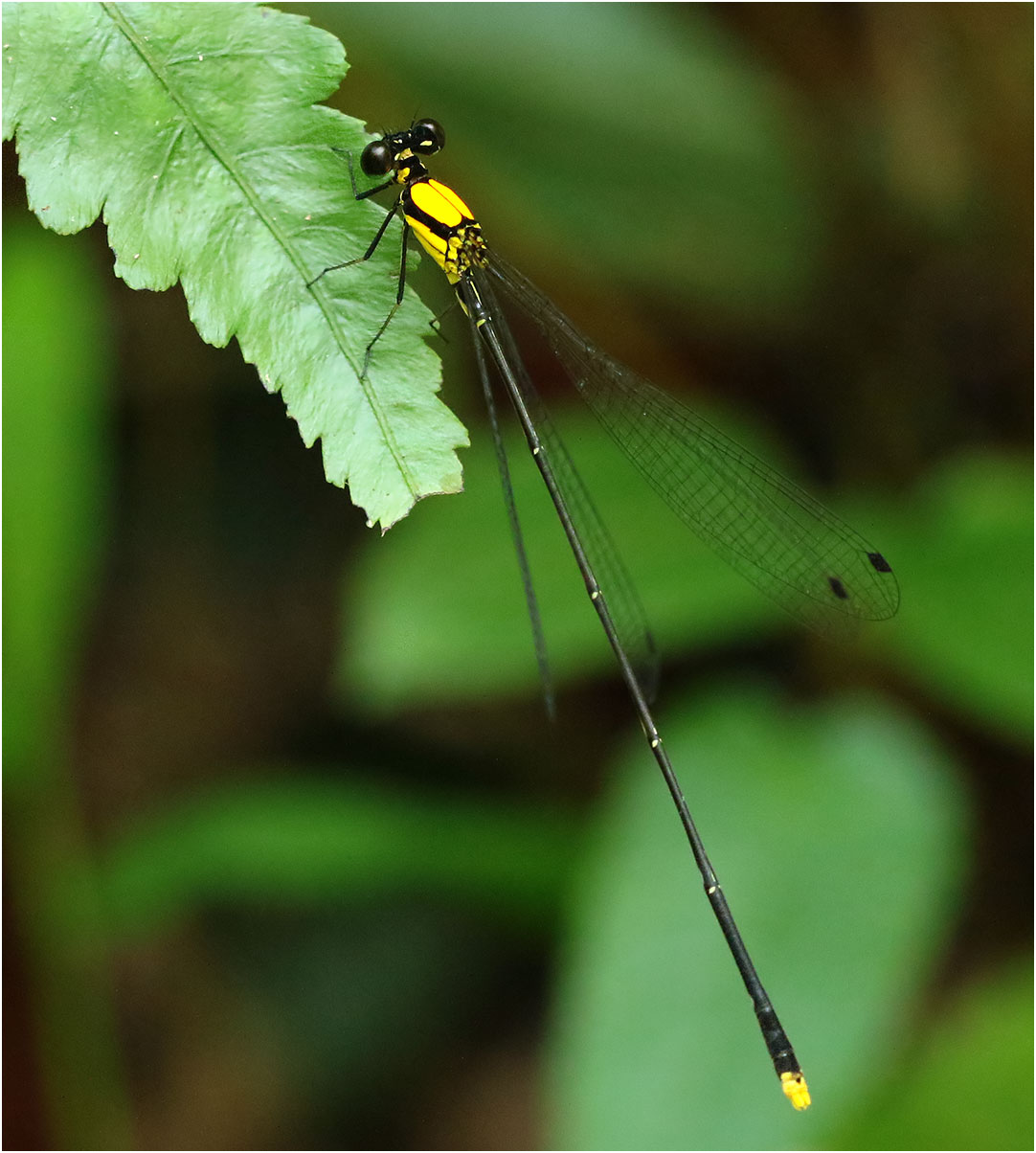 Coeliccia chromothorax mâle, Vietnam, Xuan Son, 09/06/2018