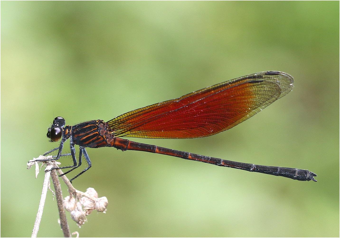 Euphaea ochracea mâle, Vietnam, Khau Pha, 10/06/2018