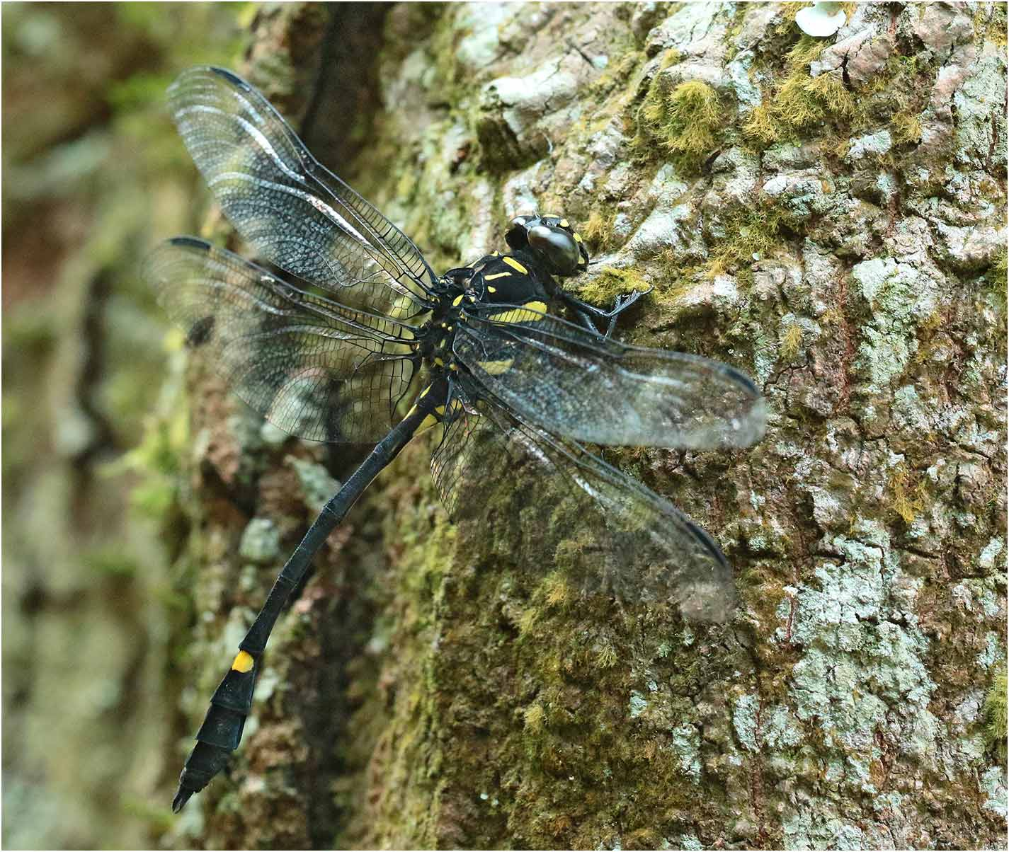 Gomphidictinus perakensis mâle, Vietnam, Xuan Son, 08/06/2019