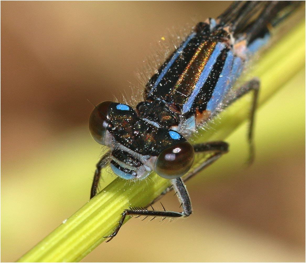 "Ischnura elegans femelle immature, type A ou ""violacea"", Beaupréau (France-49), 14/05/2019"