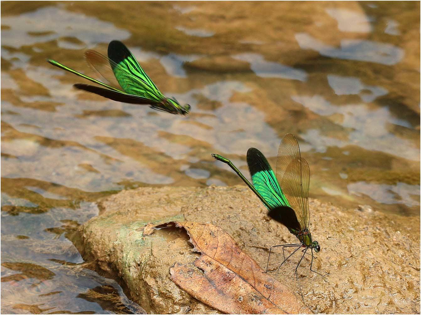 Neurobasis chinensis mâles, Vietnam, Cao Bang, 04/06/2018