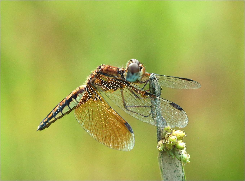 Palpopleura sexmaculata femelle, Vietnam, Pia Oac, 05/06/2018