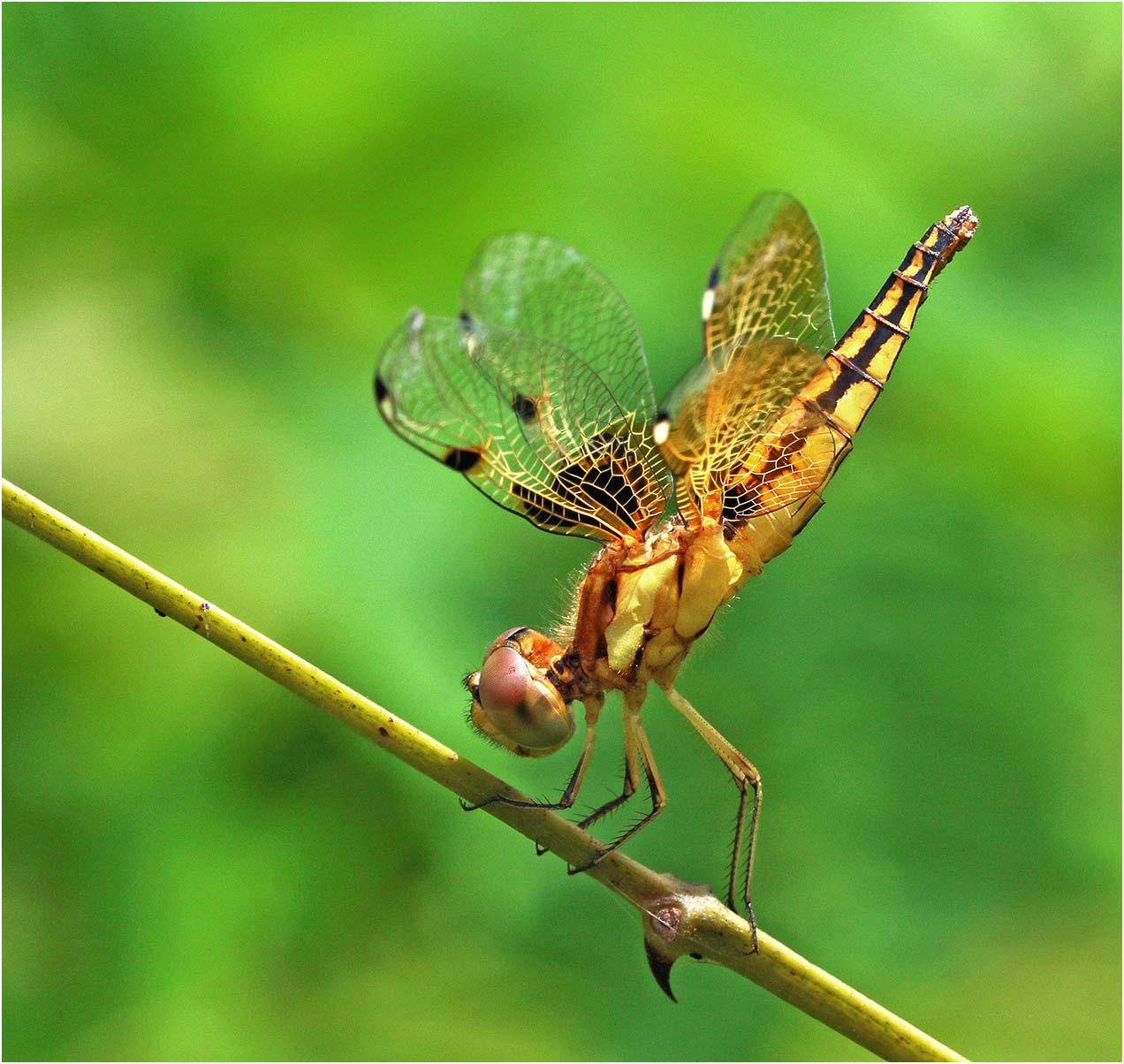 Palpopleura sexmaculata femelle immature, Vietnam, Huu Lien, 03/06/2018