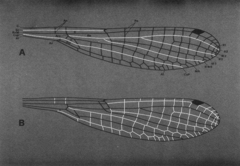 Distribution des épines courtes et longues sur les ailes des zygoptères, Andrea & Carfi, Odonatologica, 1988.