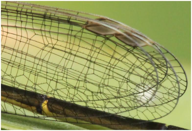 Mise en évidence des épines des ailes, Ischnura elegans, France, Beaupréau, 06/2011