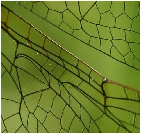 Épines des ailes sur Oxygastra curtisii.