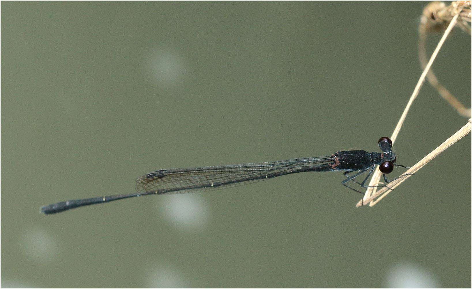 Prodasineura autumnalis mâle, Vietnam, Huu Lien, 03/06/2018