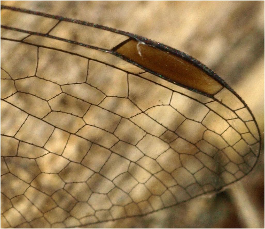 Sympetrum striolatum femelle, France (49), 29/10/2009