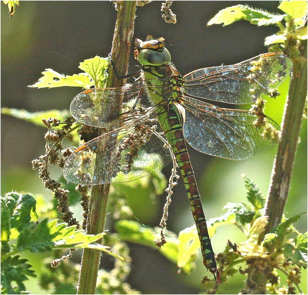 Aeshna affinis femelle, Parc du confluent, Portet sur Garonne (France - 31), 19/07/2019