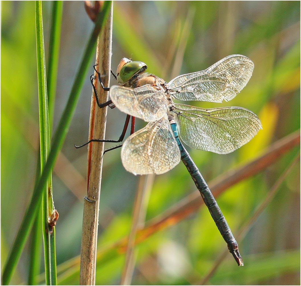 Anax parthenope mâle, Gironde, lac d'Hourtin, 17/07/2019