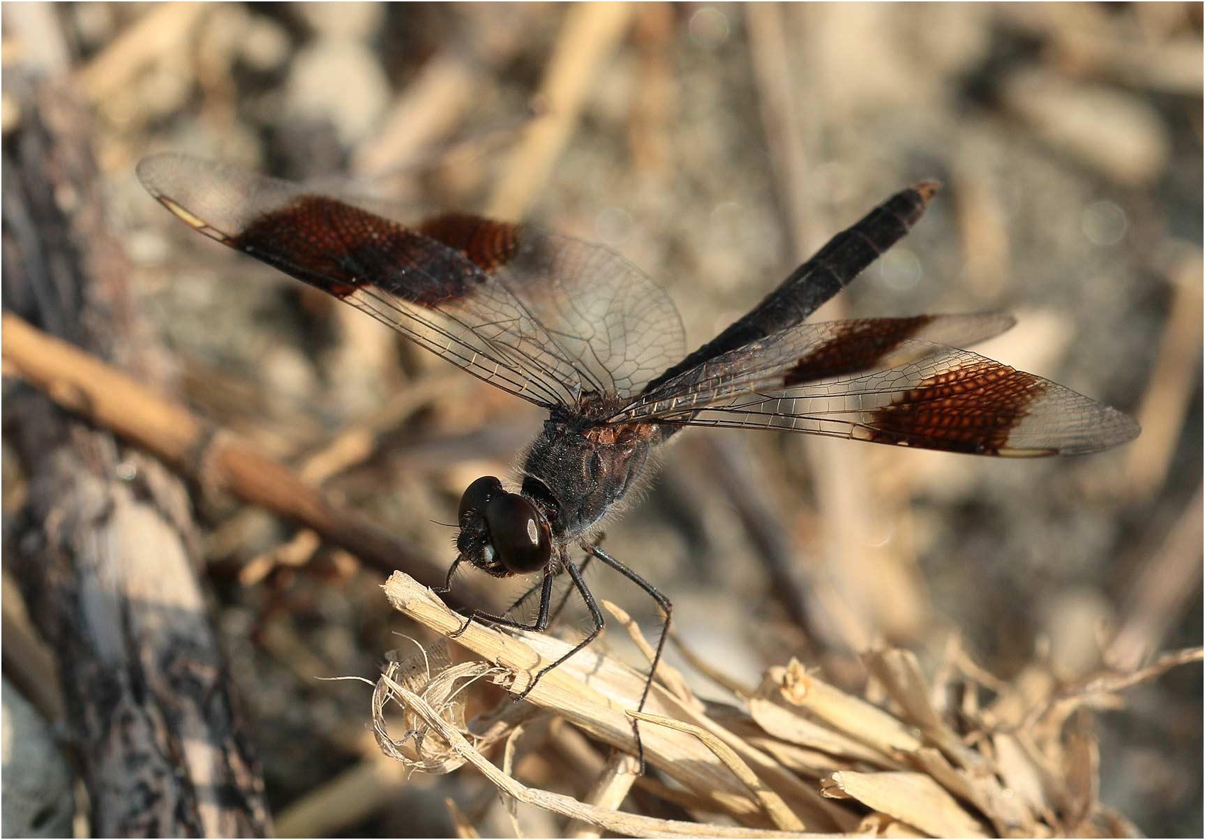 Brachythemis leucosticta mâle, Ethiopie, lac Langano, 31/10/2018